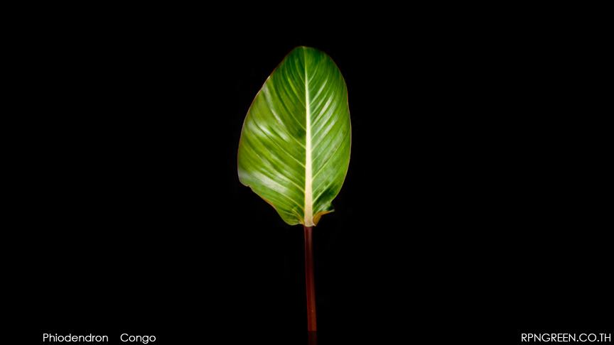 Phiodendron Congo