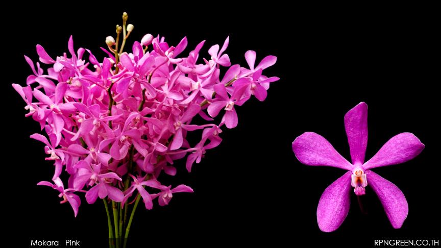 mokara pink